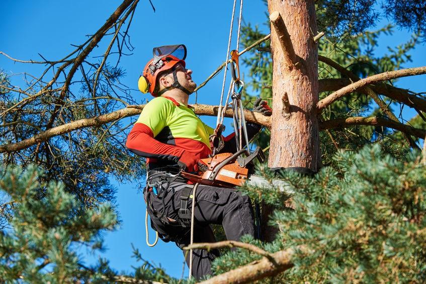 גיזום עצים בגובה